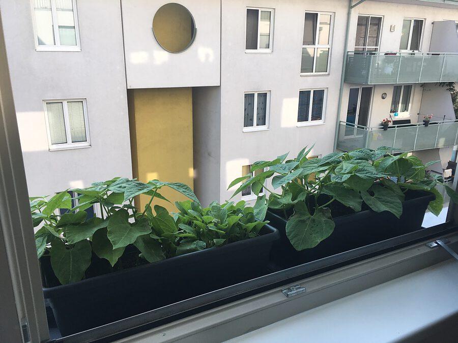Masu Basisset mit Kräutergarten am Fenster